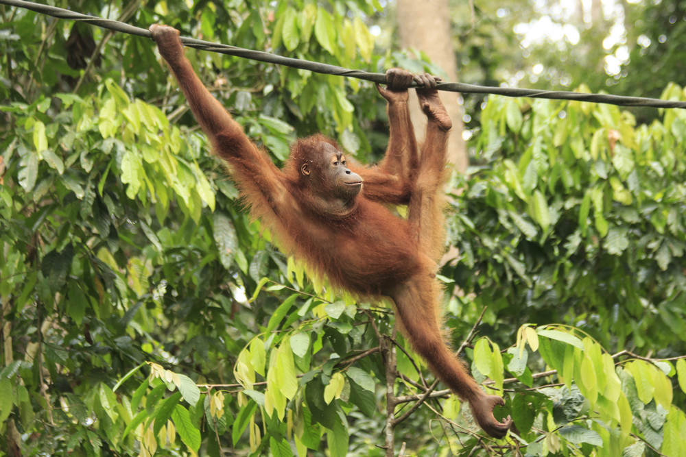 Young Orangutan swinging on rope. Photo: Rich Carey/Shutterstock