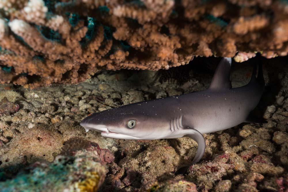 White-tipped reef shark under coral, Galápagos Islands
