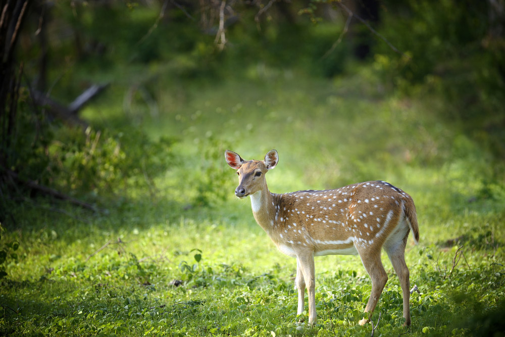 Wild deer in Sri Lanka. Photo: Shutterstock