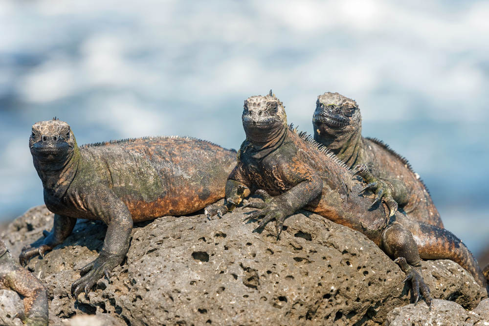 Marine Iguana resting on lava rocks at Santa Cruz Island in Galapagos Islands. Photo: Shutterstock