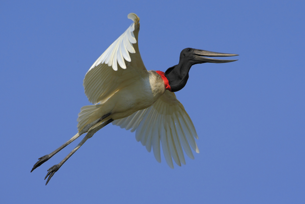 An incredible Jabiru mycteria. Photo: Shutterstock