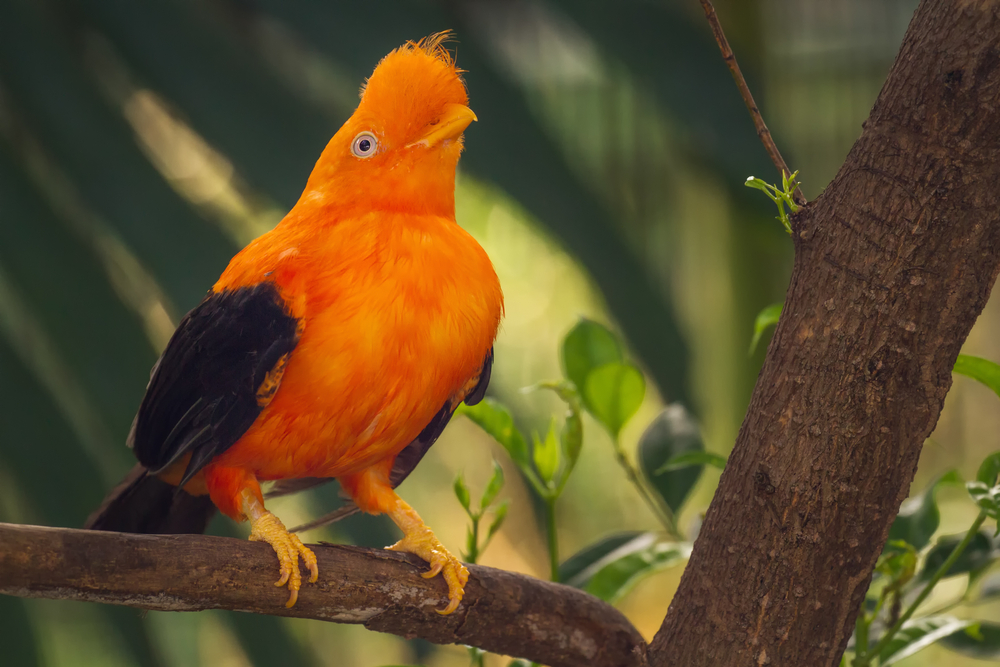 Orange colorful bird, Cotinga, Cock on the rock in peruvian Amazon. Photo: Shutterstock
