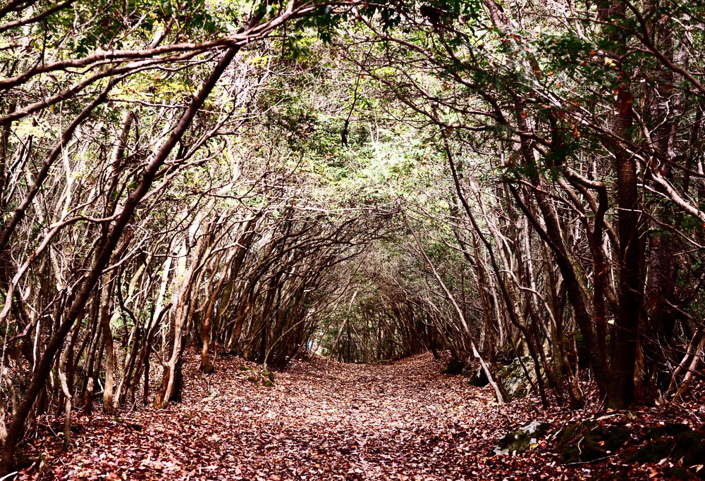 Tunnel trail at Aokigahara Forest in Japan.  Photo: Shutterstock