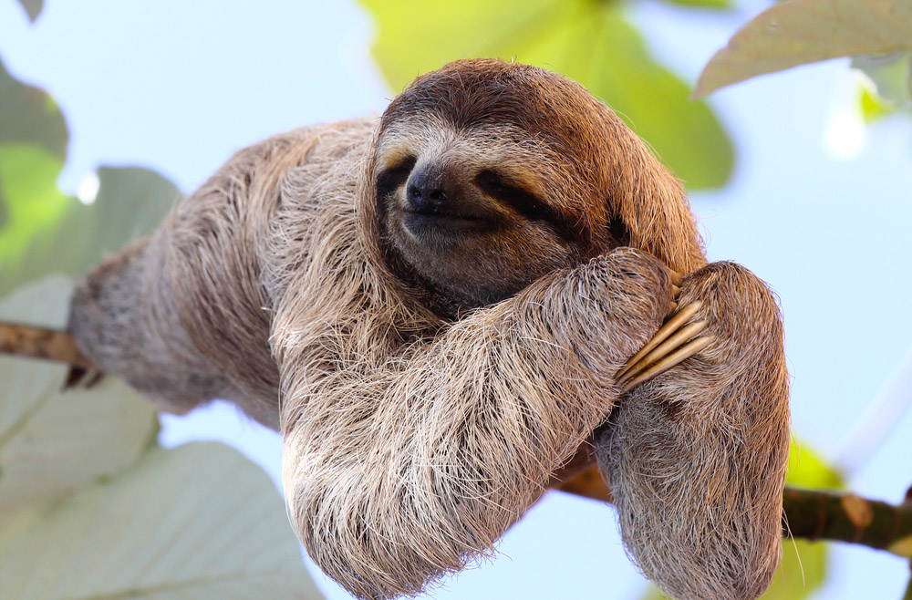 A happy sloth in Costa Rica, where Insight Guides offers plenty of trips. Photo: Shutterstock