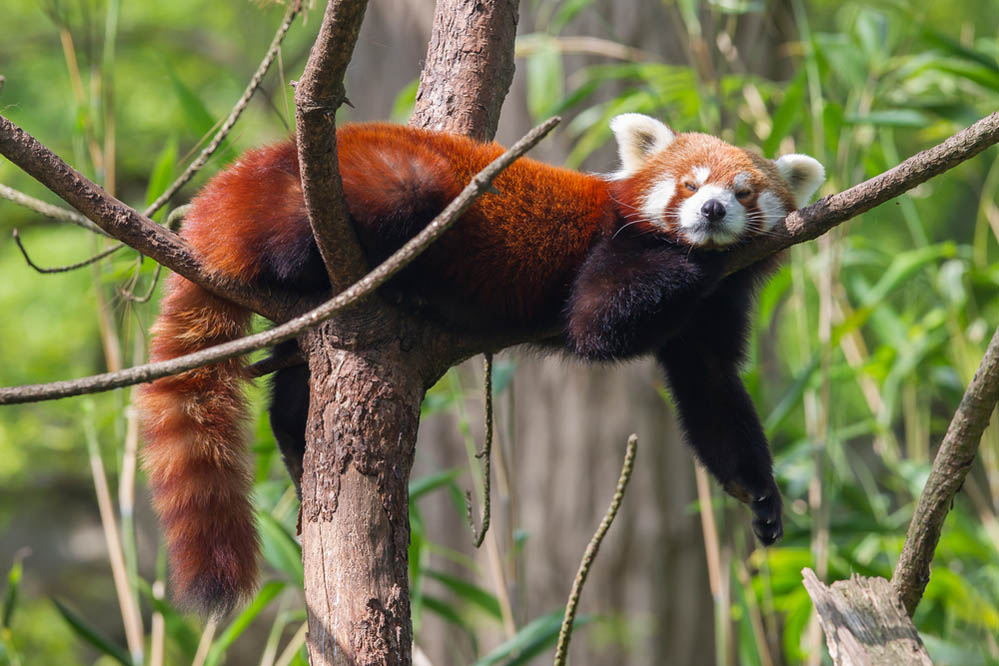 A lazy-looking red panda relaxes in a tree. Photo: Shutterstock