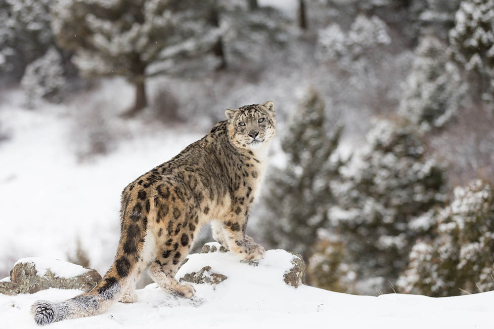 A magnificent snow leopard. Photo: Shutterstock