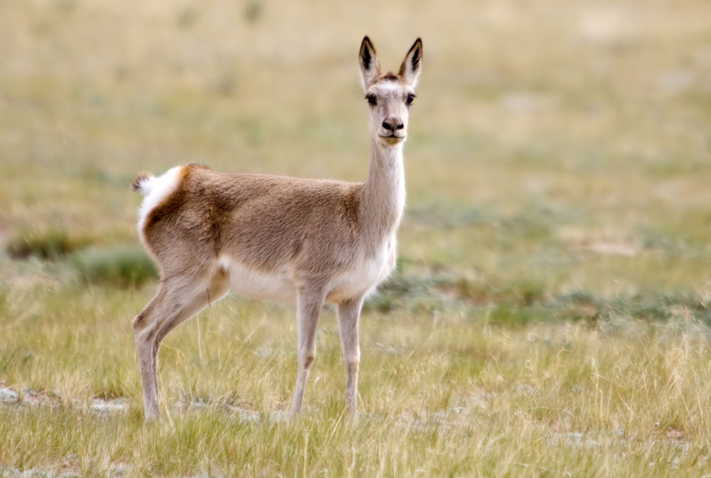The Tibetan gazelle. Photo: Shutterstock
