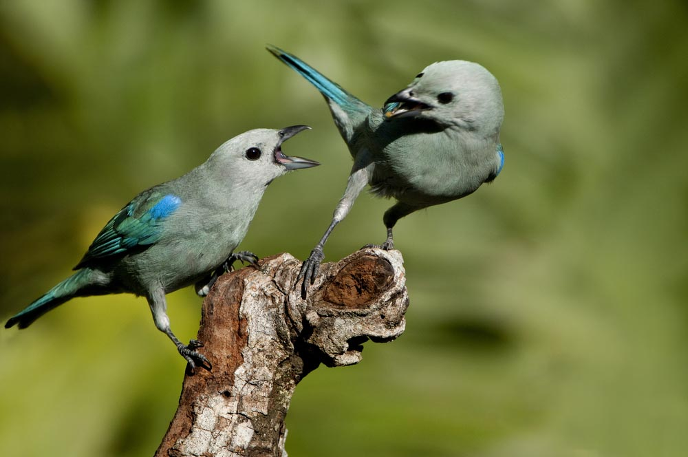 Blue-grey tanager, Parque Nacional Soberanía, Panama.