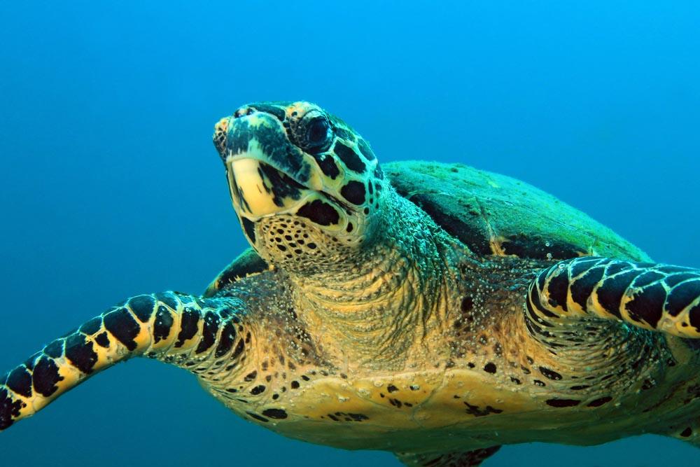 Hawksbill turtle at the Parque Nacional de Coiba, Panama.