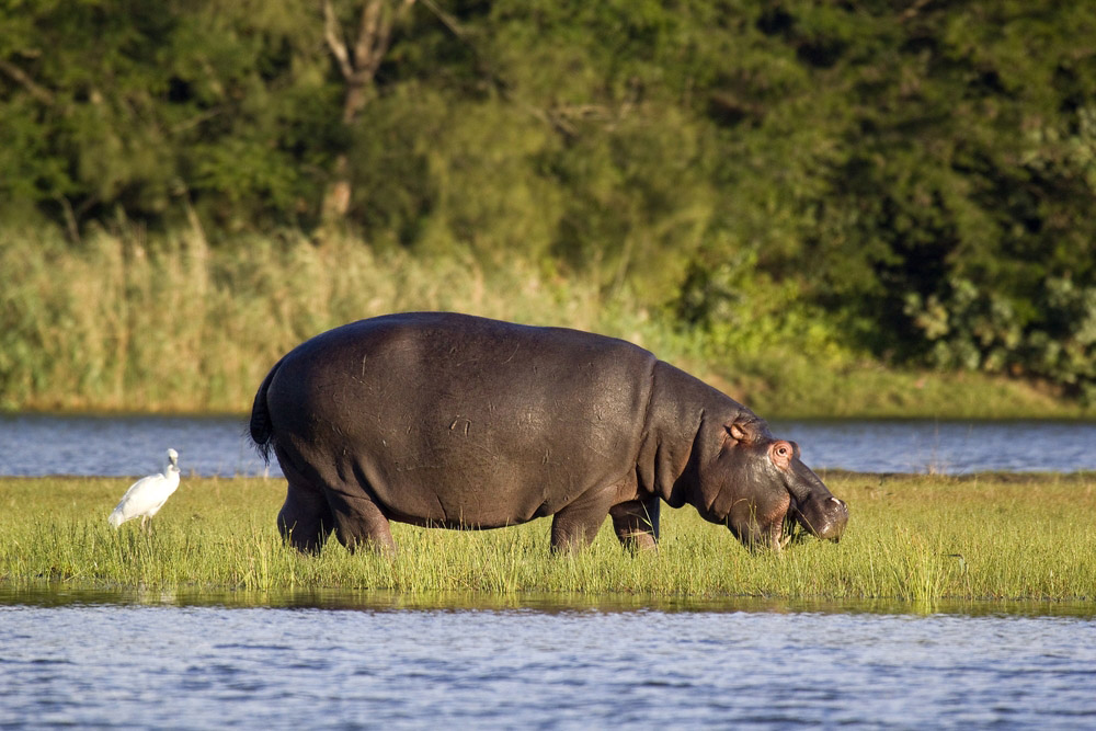 An enormous hippo stopping for a snack. Photo: Shutterstock