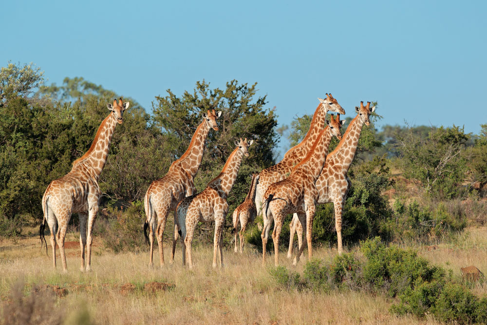 Small herd of giraffes (Giraffa camelopardalis) in natural habitat, South Africa. Photo: Shutterstock
