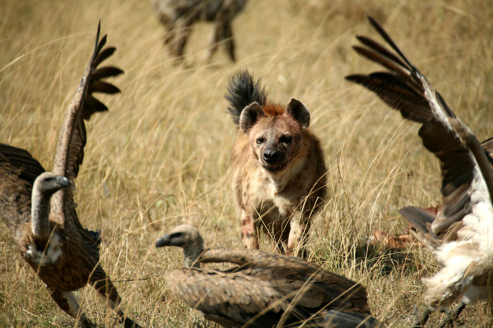 African hyena on the prowl. Photo: Shutterstock