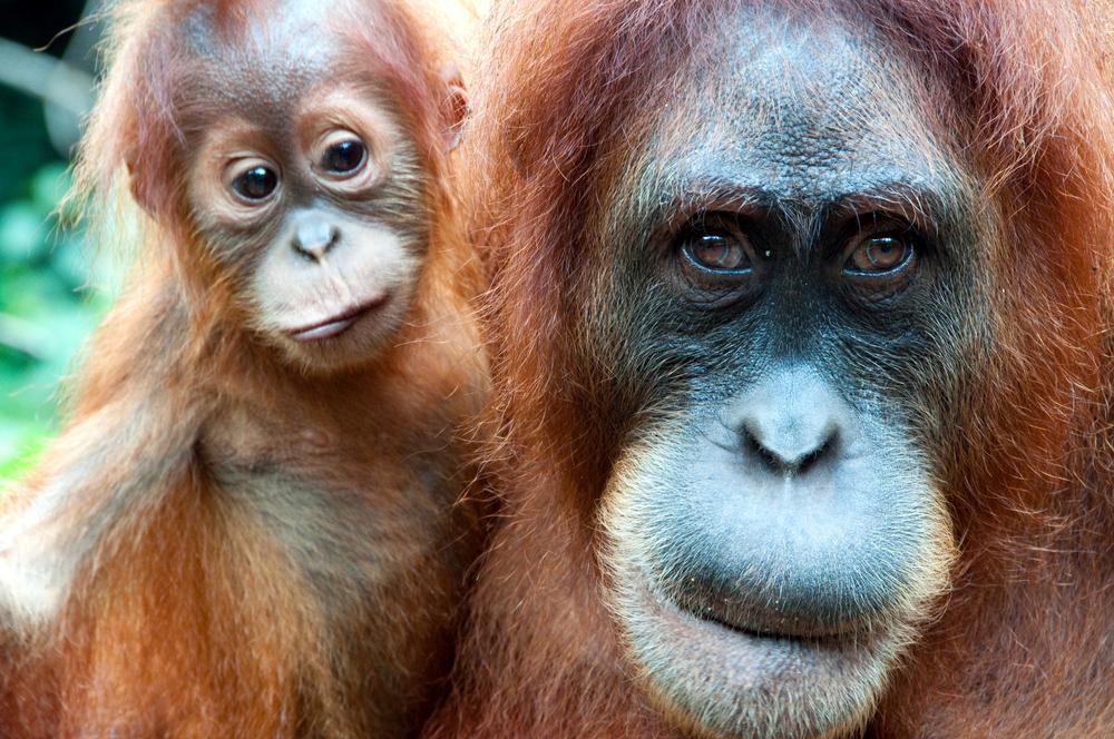 An orangutan family in Malaysia. Photo: Shutterstock