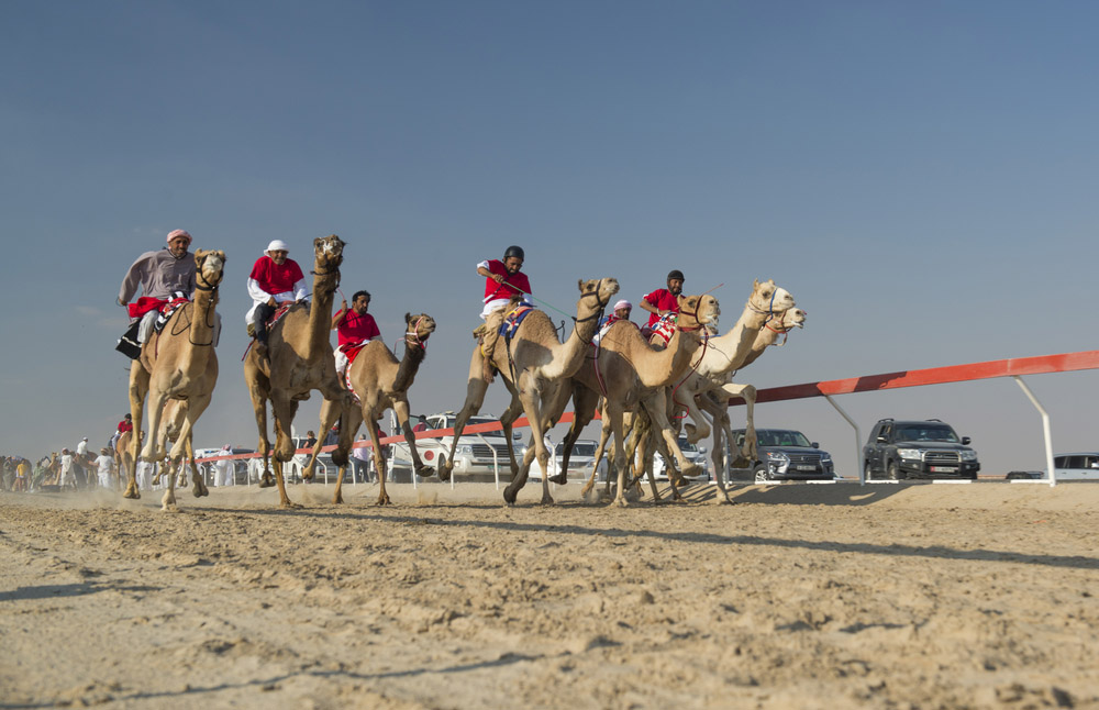 Camel races in UAE. Photo: Shutterstock