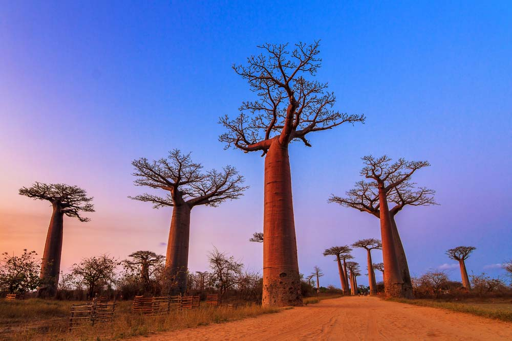 Baobab trees after sunset at the avenue of the baobabs in Madagascar
