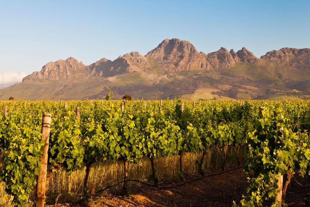 Vineyard in the hills of Stellenbosch in South Africa. Photo: Shutterstock
