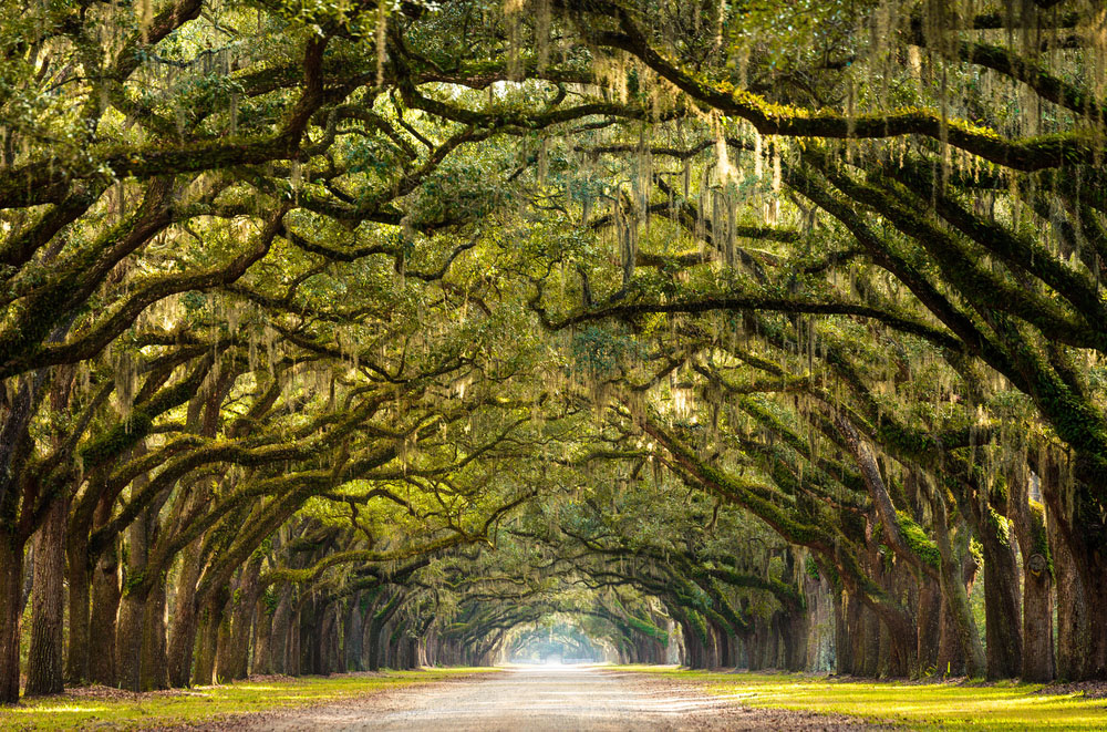 A stunning, long path lined with ancient live oak trees draped in spanish moss in the warm, late afternoon near Savannah, Georgia. Photo: Shutterstock
