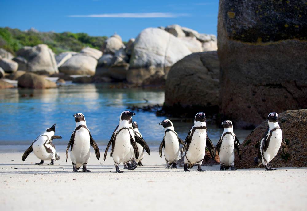 African penguins at Boulder Beach. Photo: Shutterstock