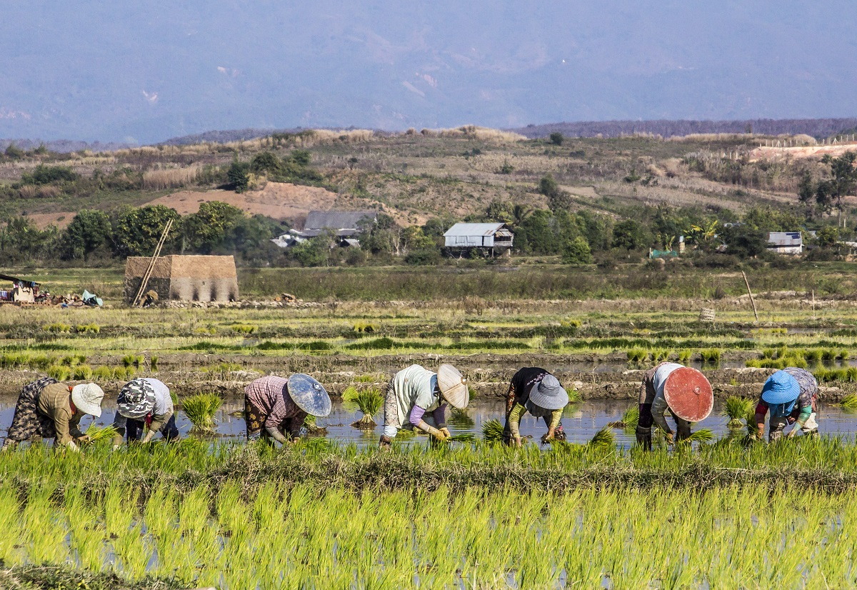 Farmers near Keng Tung Myanmar are planting rice in the flooded field. Photo: Arnold Zimmer/123RF