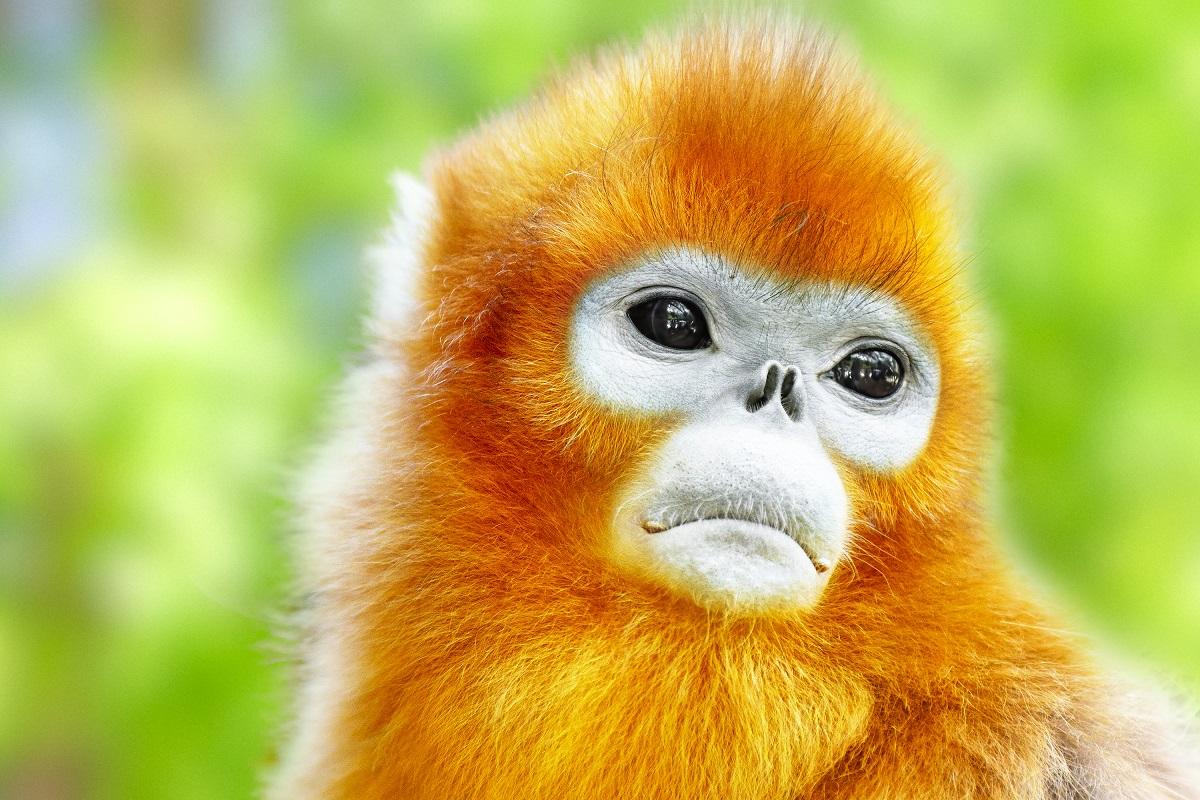 Snub-Nosed Monkey in his natural habitat of wildlife. Photo:  ivantagan/123RF