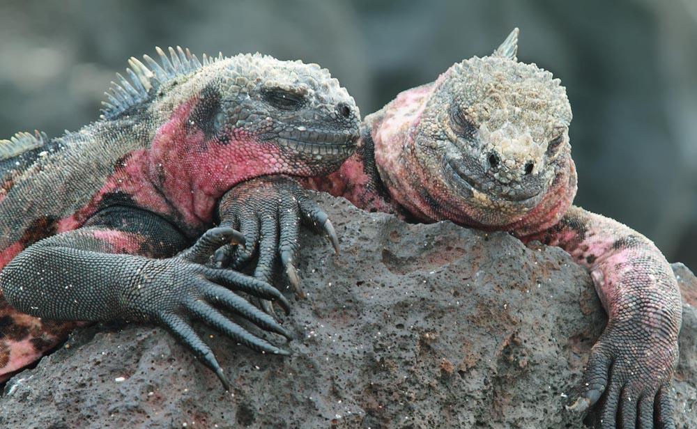 Galápagos marine iguanas on Española island, Galápagos, Ecuador.