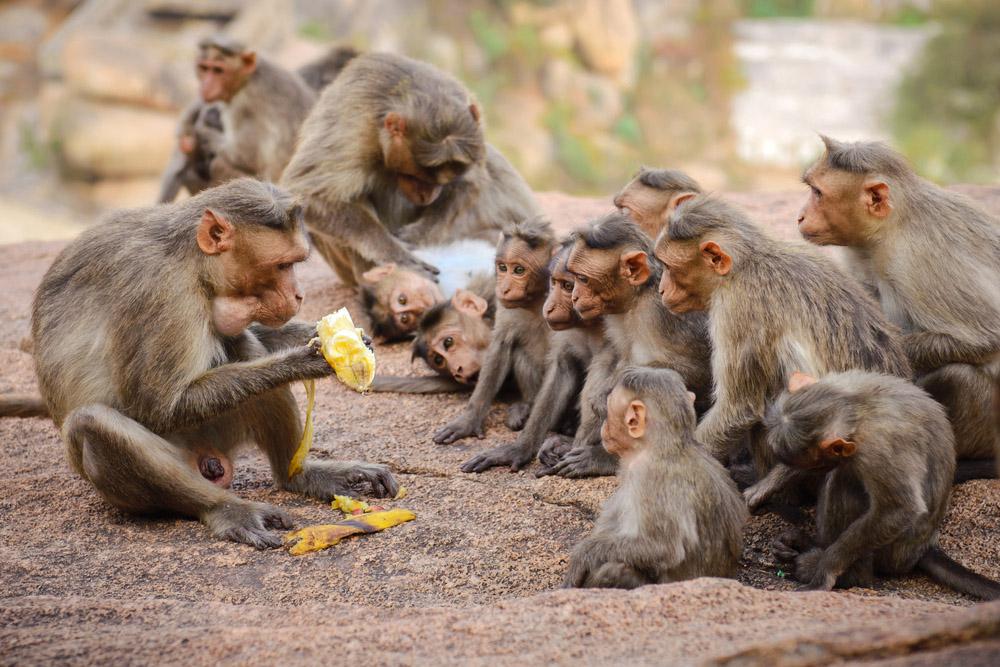 Funny monkey family in ancient Hampi ruins, Karnataka, India. Photo: Shutterstock