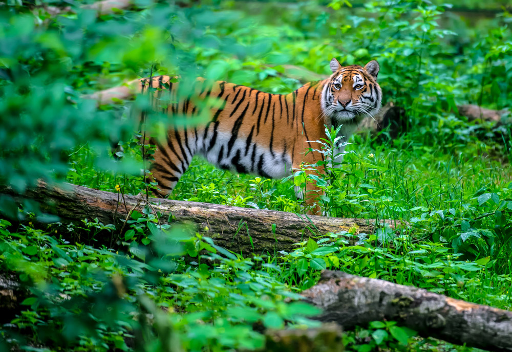Portrait of a Tiger in the wild in India. Photo: Shutterstock