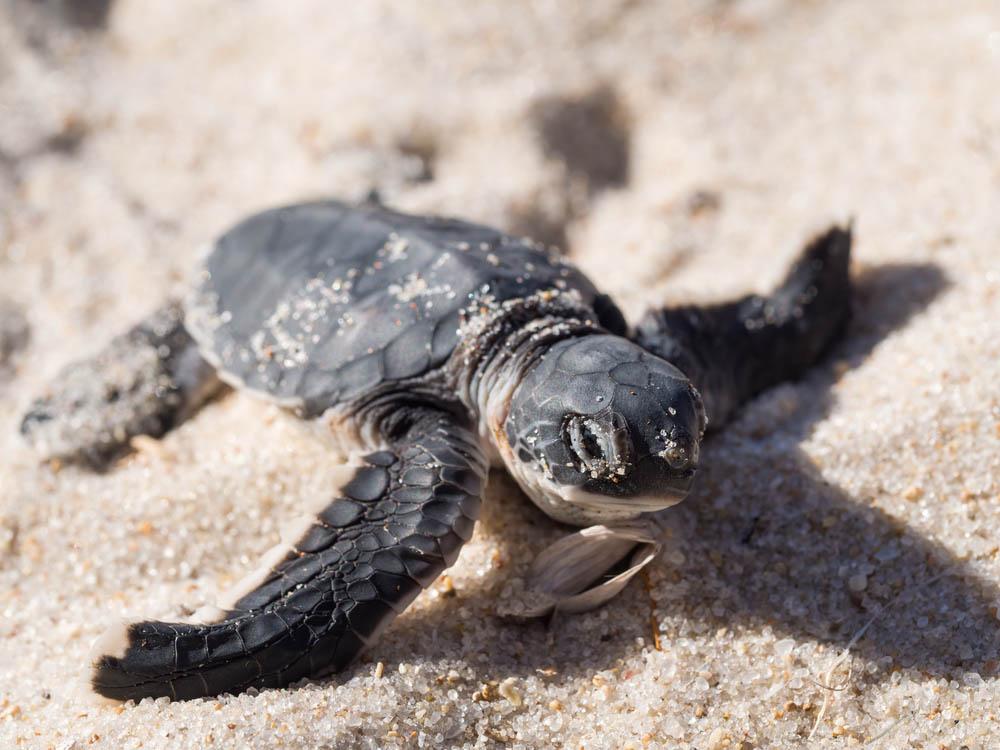 Small green sea turtle at Turtle Islands Marine Park. Photo: Shutterstock