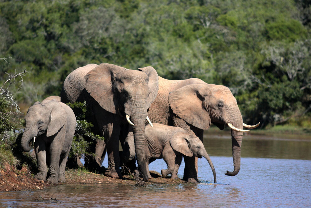 Elephants in  Addo Elephant National Park.