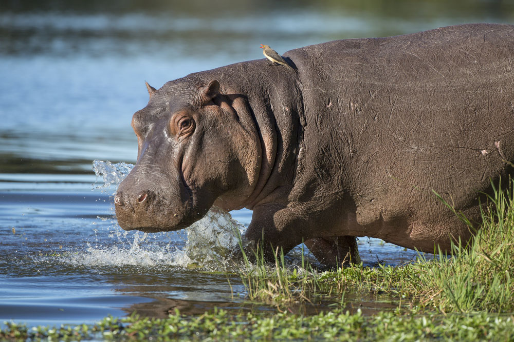 Hippo walking into water with ox peckers on his back.