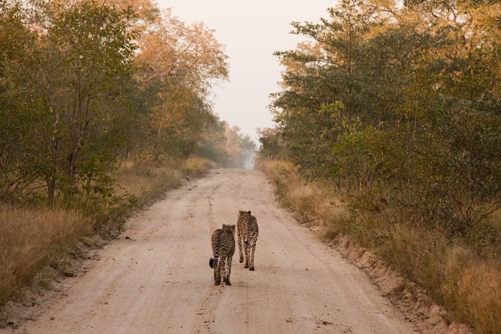 Cheetah in Sabi Sands Private Game Reserve, South Africa.