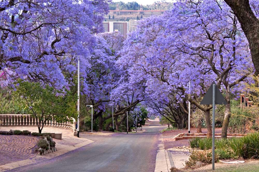 Jacaranda trees lining the street in Pretoria. Photo: Shutterstock