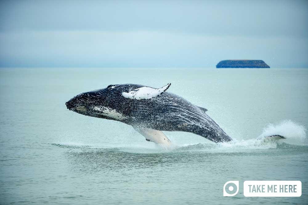 Humpback whale (Megaptera novaeangliae), breaching near Húsavík, in Iceland.