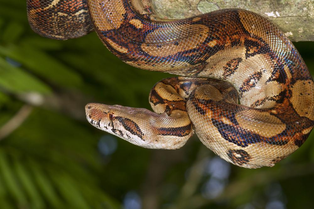 Emperor boa (Boa constrictor imperator) hanging in a tree, Tortuguero, Costa Rica. Photo: Shutterstock