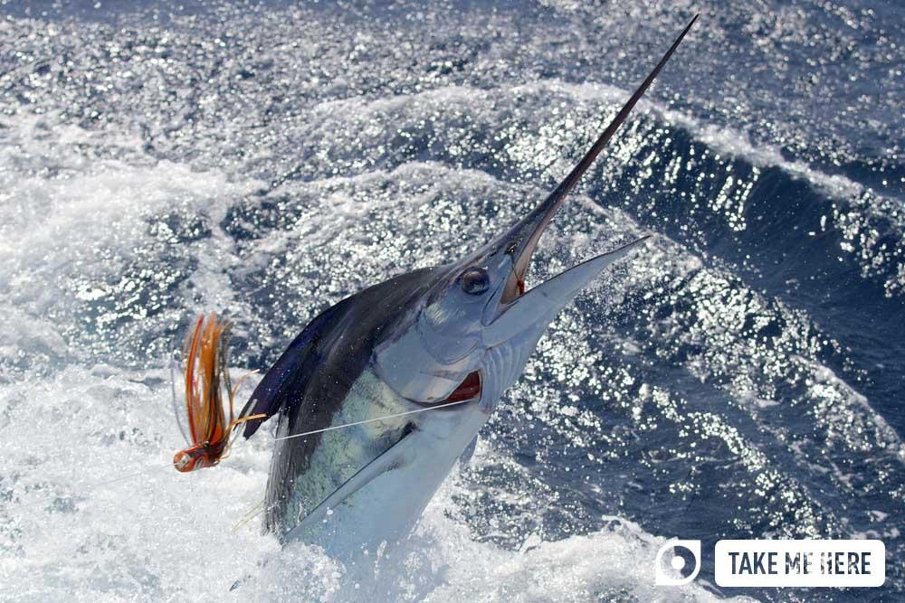 Fishing marlin.