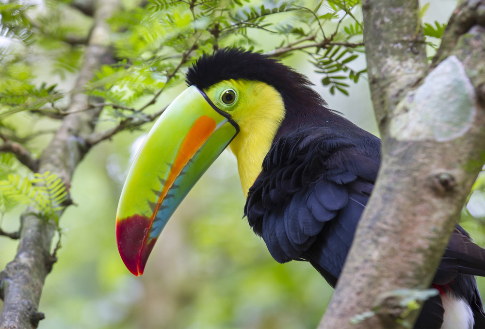 Keel-Billed Toucan (Ramphastos sulfuratus) in Costa Rica. Photo: shutterstock