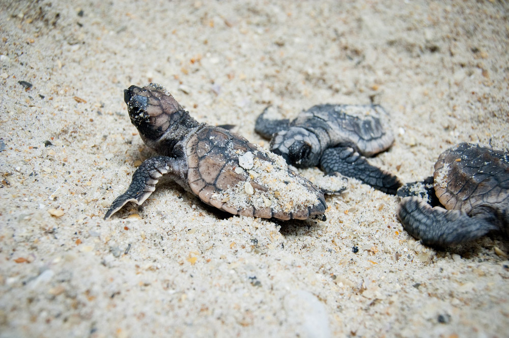 Sea Turtle Hatchling. Photo: Shutterstock