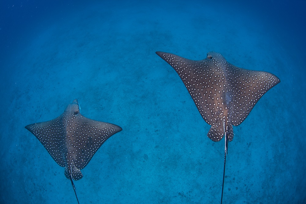 A pair of spotted eagle rays near Isla del Coco. Photo: Ethan Daniels/Shutterstock