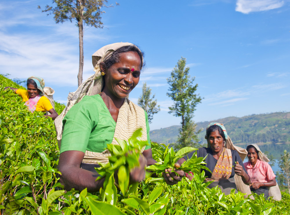 Women tea pickers in Sri lanka.