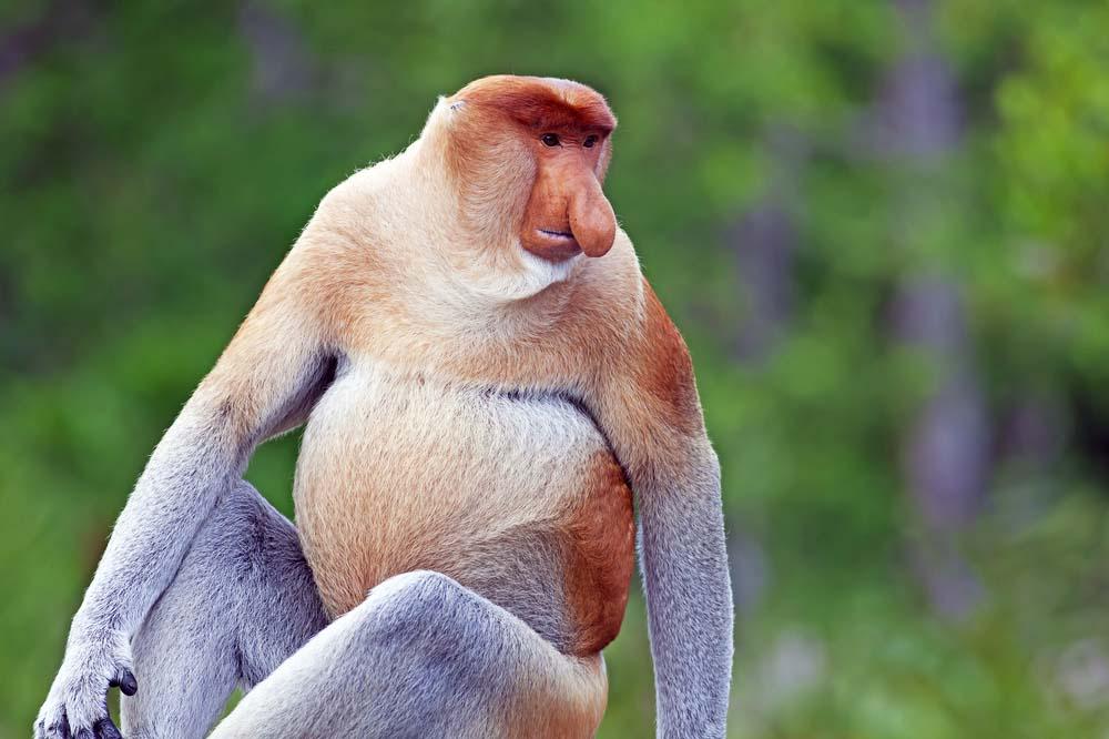 Proboscis monkey in Sabah, Malaysia. Photo: Shutterstock