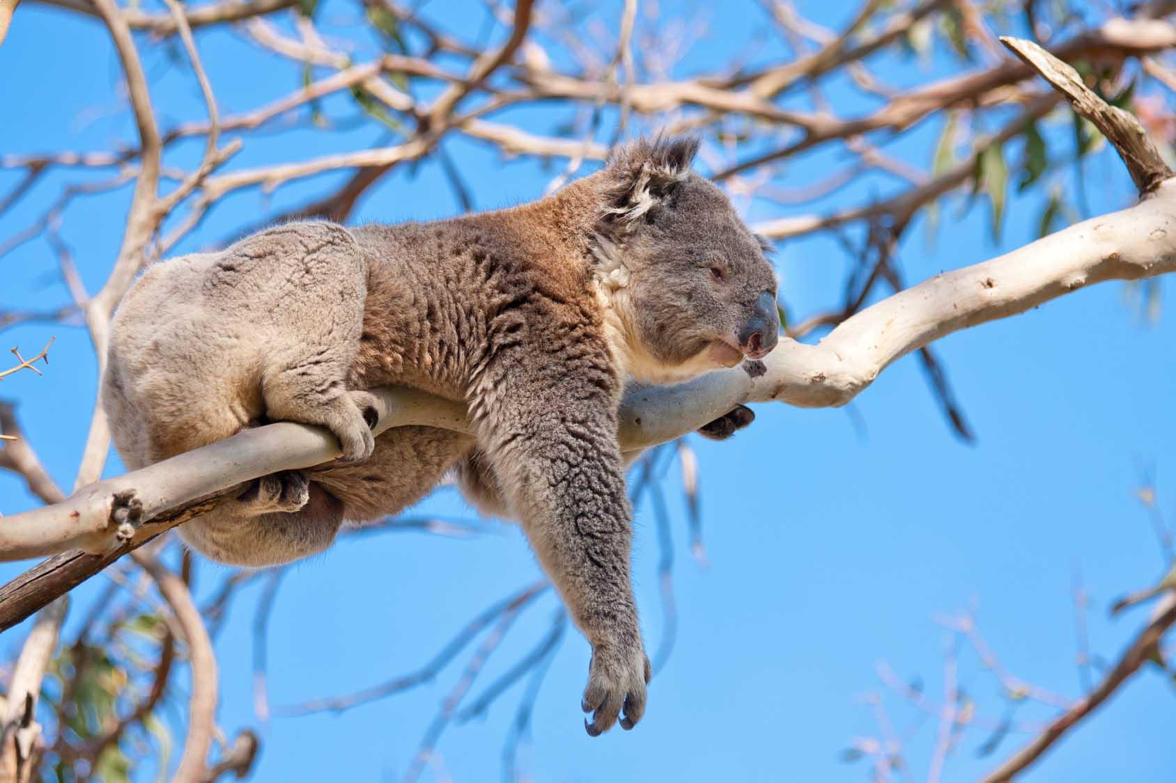 A koala in lazes around in Taronga Zoo, Mosman, Sydney