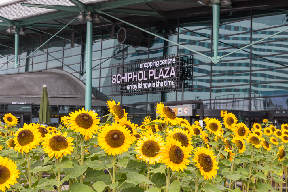 Sunflowers in front of a shopping centre at the airport Schiphol of Amsterdam. Photo: Shutterstock