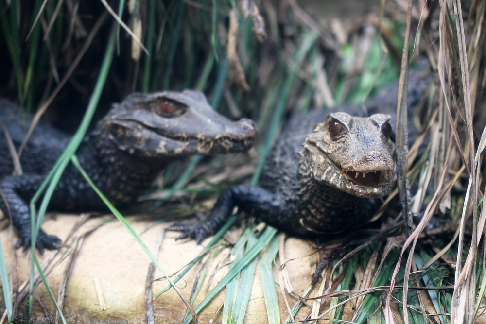 Chomp, chomp! Alligators in Florida. Photo: Shutterstock