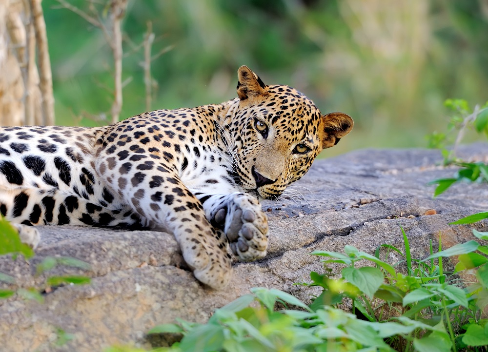 Leopard in the wild on the island of Sri Lanka.