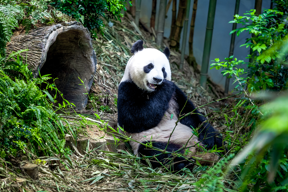 Spot pandas at Singapore's River Safari.
