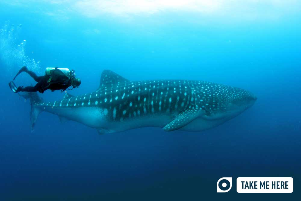 A whale shark followed by a diver, in the waters off Darwin and Wolf, the Galápagos Islands