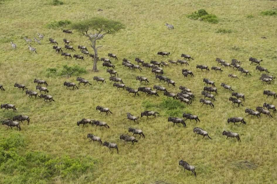The great wildebeest migration across the Maasai Mara