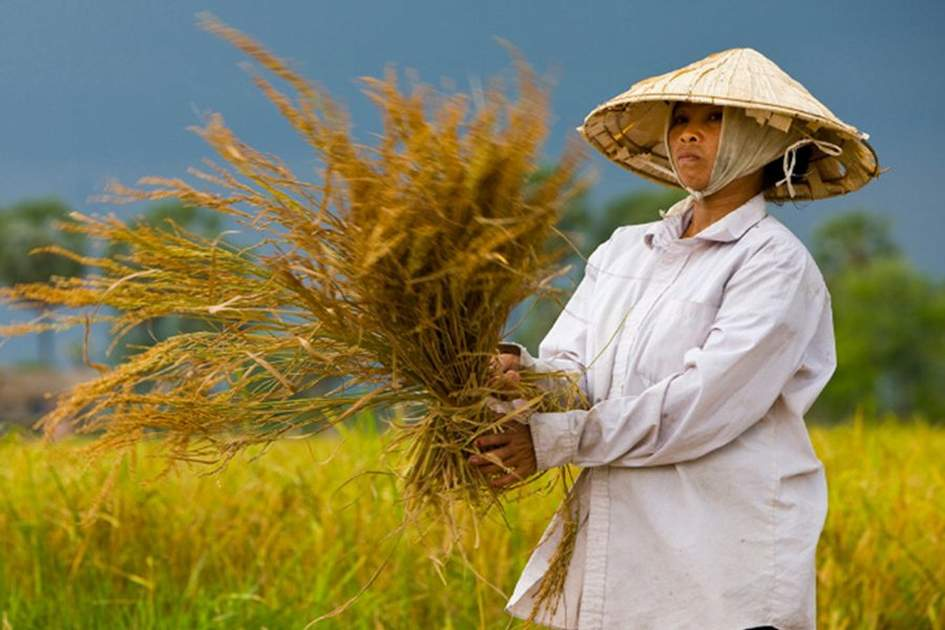 Harvesting rice in Laos