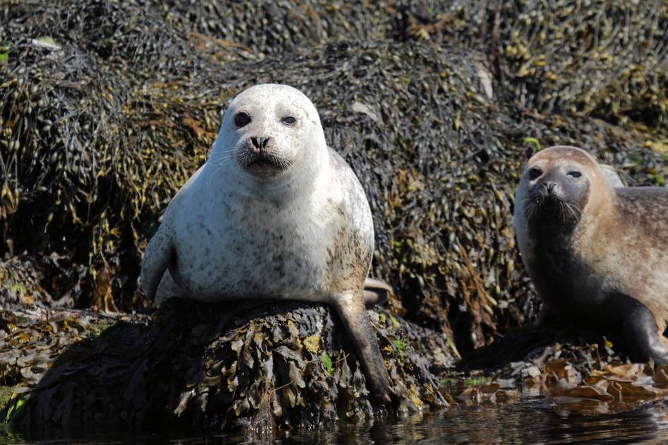 common seal gray mammal marine northern europe scotland