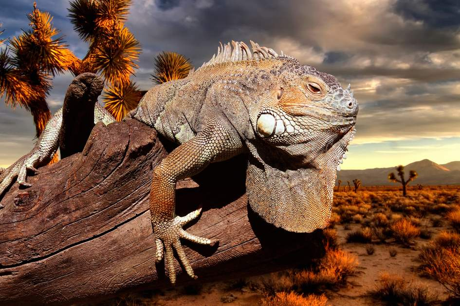 An iguana enjoys the sunset on the Gálapagos Islands